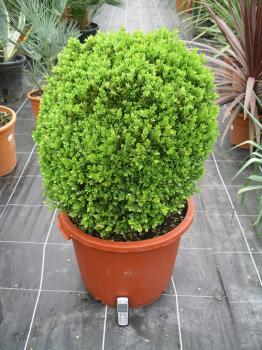 buxus20sempervirens20suffructicosa-40l-4520to2050.jpg